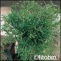 Semi di Anice Pimpinella Anisum