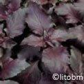 Basilico Rosso 10 gr - B588