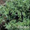 Hyssopus Officinalis - Issopo - K73