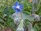 Semi di Borragine (borago Officinalis)