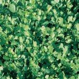 Semi di Crescione (nasturtium Officinalis)